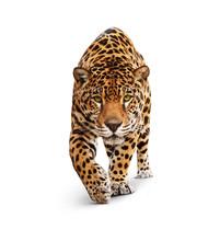 Jaguar - widok z przodu zwierzę, na białym tle, cień