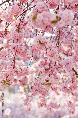 wisniowe-drzewo