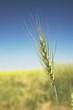 Green Wheat Head