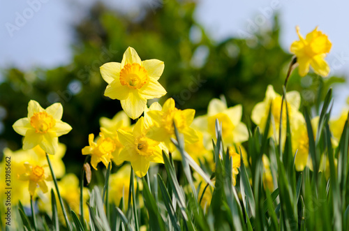 Poster Narcis yellow Daffodils in the garden