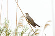 common cuckoo / Cuculus canorus
