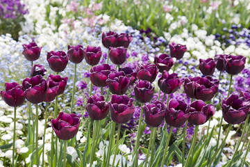 fototapeta czarne tulipany
