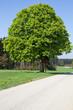 Kastanienbaum an einer Landstraße