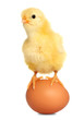 Cute baby chicken eastern animal isolated