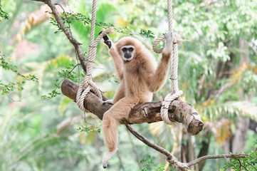 Gibbon relaxing on a swing.