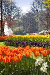 Flamy orange tulips in spring park