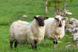 Couple of irish sheep on the meadow