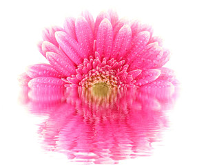 Gerber flower blossom reflected in water