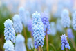 Hellblaue, armenische Hyacinthen