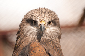 Head of steppe hawk