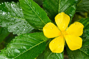 yellow turnera after raining