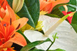 gros plan sur bouquet, anthurium, amaryllis et gerberas