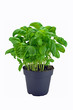 A potted basil herb plant on a white background