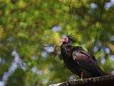 Close up of rare bald ibis bird in captivity poster