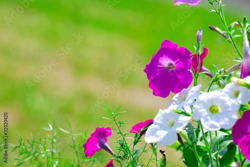 petunia flowers in sunlight