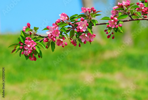 cherry branch with pink flowers