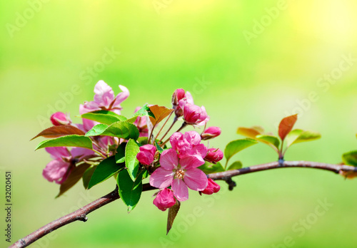 pink cherry flower blossoms on green