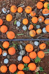Rotten oranges fallen in floor market price is low