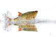 Fische 81