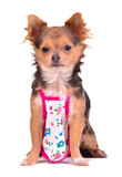 Chihuahua puppy dressed with apron like cook chief, isolated poster