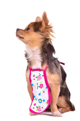 Cooking chief chuhuahua puppy wearing apron isolated