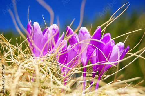 Blossoming crocuses