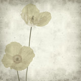 textured old paper background with welsh poppy