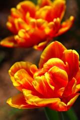 Tulpen,Karte