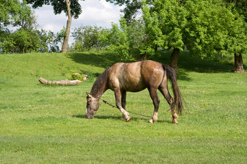 The horse is grazing on a meadow