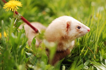 Cute white ferret on a leash in grass