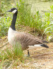 adult goose standing