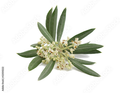Plexiglas Olijfboom Blossoming branch of an olive tree