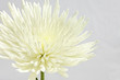 White Gerber Daisy on White Background