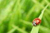 Fototapeta trawa - tło - Insekt