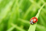 Fototapety ladybug on grass
