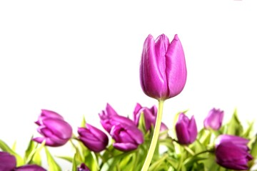 tulips pink flowers isolated on white background