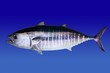 Bluefin tuna isolated on blue background