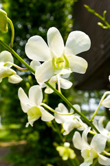 beautiful white  rhynchostylis orchid