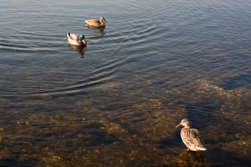 ducks in clear shallow water