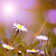 Gänseblümchen in der Morgensonne