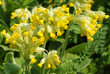Primula veris plant, common name - Cowslip