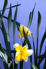 Daffodils on a blue background
