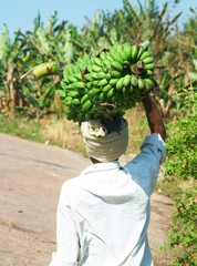 Man carryies a large bunch of green bananas on his head.
