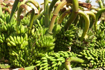Large bunches of green bananas on a plantation.