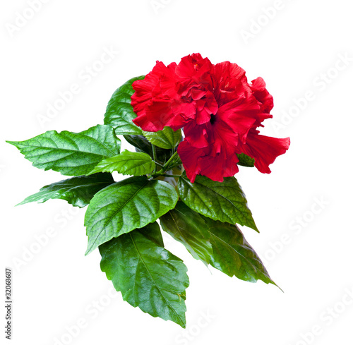 Red China rose flower room isolated on a white background