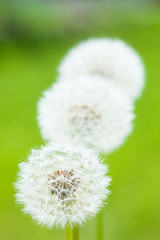 flower[dandelion]_15