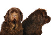 Newfoundland dogs in studio on the white background