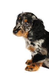 dachshund dog in front of a white background