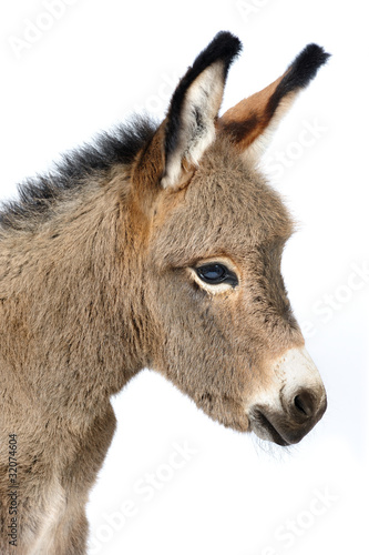 Baby donkey 5 days old in studio