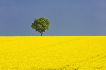 1 Baum in gelber Rapswiese